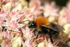 Bumblebee na sedum Zdjęcia Stock