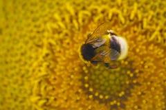 Bumblebee na słoneczniku Zdjęcia Royalty Free