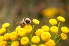 Bumblebee na tansy Fotografia Royalty Free