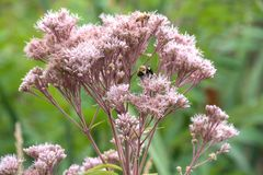 Bumblebee na trojeść kwiacie Obrazy Royalty Free