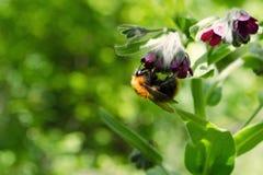 Bumblebee na zmroku - czerwony kwiat Przeciw tłu greenery Zdjęcie Stock