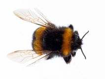 Bumblebee odgórny widok obraz stock