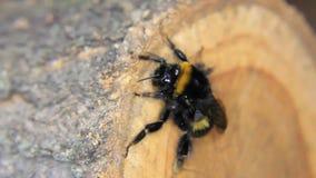 Bumblebee odpoczynek na drewnianym zbiory wideo