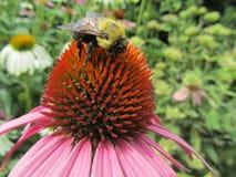 Bumblebee odpoczywa na różowym kwiacie Fotografia Royalty Free