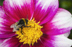 Bumblebee om red white blossom Royalty Free Stock Photo