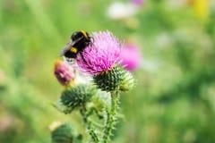 Bumblebee On Thistle Flower (Carduus Crispus) Stock Photo