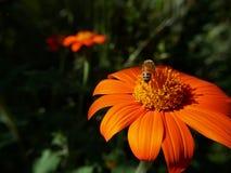 Bumblebee on orange daisy flower. In full bloom stock images