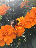 Bumblebee on an orange flower royalty free stock images