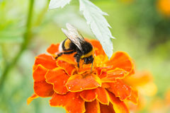 Bumblebee on a orange flower collects pollen, selective focus. Nature background royalty free stock images