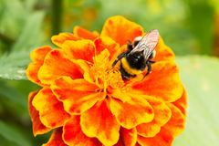 Bumblebee on a orange flower collects pollen, selective focus. Nature background stock image
