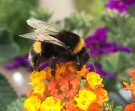Bumblebee on orange flower gathering royalty free stock photos