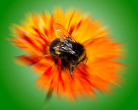 Bumblebee on Orange Flower with Radial Blur Stock Images