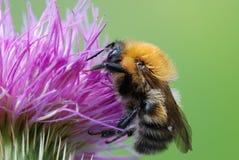 bumblebee oset Obrazy Royalty Free