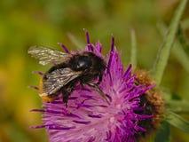Bumblebee osetu kwiatu Jaskrawy purpurowy zakończenie up zdjęcia stock