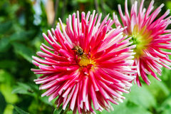 Bumblebee over pink flower, summer garden Royalty Free Stock Images