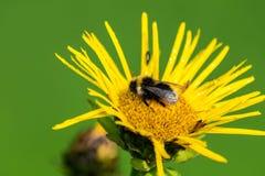 Bumblebee. Overeat nectar and sleeps on a flower Stock Photos