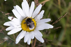 Bumblebee on Oxeye Daisy Flower Close Up Royalty Free Stock Photo