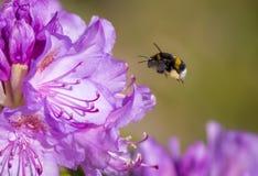 Bumblebee patrzeje dla nektaru Fotografia Royalty Free