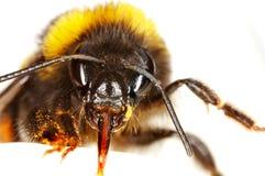 Bumblebee on a petal Stock Photo