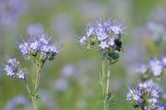 Bumblebee and phacelia flowers Stock Image
