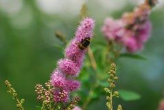 Bumblebee pięcie na menchia kwiacie Obrazy Stock
