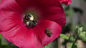 Bumblebee picking pollen from hollyhock flower, 4K stock footage