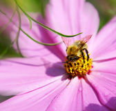 Bumblebee. Royalty Free Stock Images