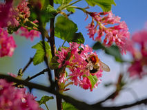 Bumblebee on a pink currant flower - Ribes sanguineum, selective focus. Bumblebee or bombus getting nectar from a pink currant flower - Ribes sanguineum Stock Image