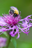 Bumblebee on pink flower Royalty Free Stock Image