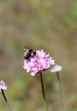 Bumblebee on a Pink Flower. Closeup of a bumblebee on a pink flower Royalty Free Stock Photos