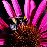 Bumblebee in pink flower Royalty Free Stock Images