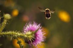 Bumblebee Stock Images