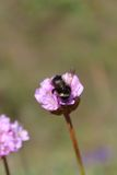 Bumblebee on a Pink Flower. A bumblebee rests on a pink flower Stock Photos