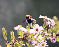 Bumblebee on pink flowers. Early Fall Stock Photography