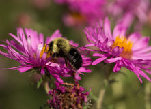Bumblebee in pink New England Aster Stock Images