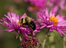 Bumblebee in pink New England Aster. Bumblebee perched inside a pink New England Aster Stock Images