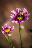 BumbleBee on pink and purple zinnia Stock Images