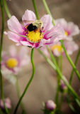 BumbleBee on pink and purple zinnia Royalty Free Stock Image