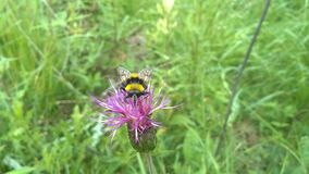 Bumblebee on pink wild flower royalty free stock images