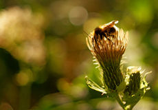 Bumblebee on plant Royalty Free Stock Images