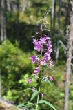 Bumblebee on a plant` Ivan tea` stock photography