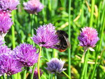 Bumblebee on plant, Lithuania. Bumblebee on violet flower in garden, Lithuania Stock Photography