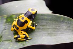 Bumblebee poison dart frog. From the tropical Amazon rain forest in Venezuela royalty free stock images
