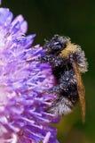bumblebee pola kwiatu sen Obraz Stock
