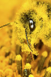 Bumblebee and pollen dust Royalty Free Stock Photo
