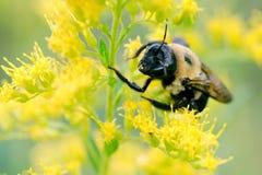 Bumblebee pollen od goldenrod rośliny i Zdjęcia Royalty Free