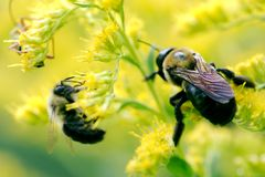 Bumblebee pollen od goldenrod rośliny i Obraz Stock