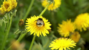 Bumblebee pollinate a dandelions. Flitting from flower to flower stock footage