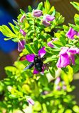 Bumblebee pollinates a Bush of red flowers. close up. on the background of green leaves royalty free stock images