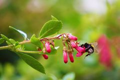 Bumblebee. Pollinates flowers in the garden Royalty Free Stock Photos